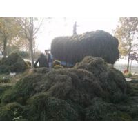 伊乐藻的养殖