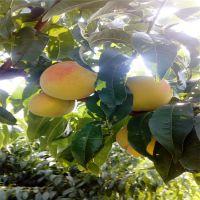 黄桃树苗价格黄桃树苗批发黄桃树苗品种
