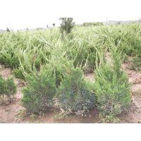 低价龙柏苗哪里有,优质龙柏苗供应,50厘米高龙柏苗价格