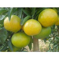 春见柑橘只能种在四川吗 广西种植表现会好吗