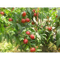 长期销售各种枣树 规格齐全枣树品种多占地开发枣树