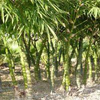苗圃直销竹苗 佛肚竹 庭院绿篱植物 园林造景用竹 量大优惠 价格从优 欢迎来电