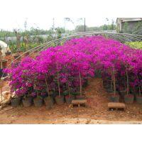 供应各种规格的云南四季紫三角梅(深紫色)
