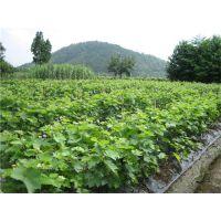 葡萄苗哪个品种好?泰安润佳农业专业果树苗研发 品种纯 成活率高