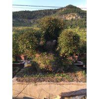供应桂花、枫树、红豆杉、枣树、山楂、黄栌、黄荆等大型古桩盆景