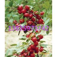 钙果苗基地出售种植优良品种钙果苗