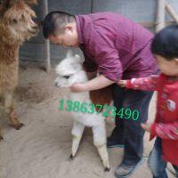 五一出租出售羊驼骆驼矮马特种动物