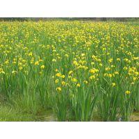 青州树春(在线咨询),克孜勒苏柯尔克孜宿根花卉,宿根花卉繁育