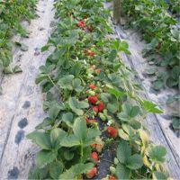 红颜草莓苗种植,贵港红颜草莓苗,红丰园艺场