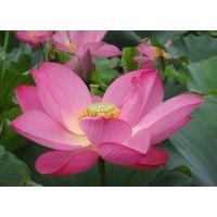 哪里可以买到古代莲 白洋淀古代莲 古代莲种苗种植 古代莲种植价格