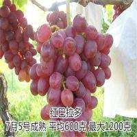 基地供应红芭拉蒂葡萄苗 葡萄苗栽培密度是多少