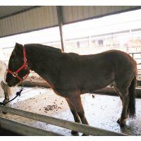 农兴养殖小马驹养殖 大型养殖场出售优质小马驹 三河马 蒙古马