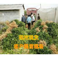 桂林大量默科特种苗批发_桂林哪里有默科特种苗买_桂林默科特种苗基地销售