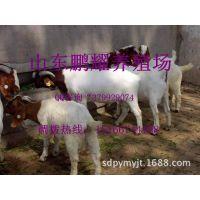 山东波尔山羊种羊 波尔山羊养殖效益 纯种波尔山羊羊羔价格