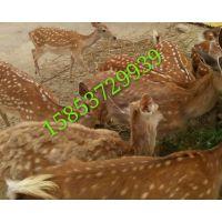优质梅花鹿 梅花鹿养殖 高质量鹿产品供应