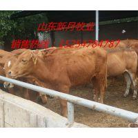 陕西镇巴县鲁西黄牛养殖场-育肥黄牛价格