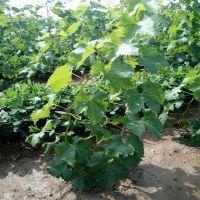 葡萄苗哪里价格低? 巨峰葡萄苗品种纯正成活率高,鑫豪园艺场出售