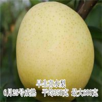 早生喜水梨树苗 优质嫁接新品种梨树苗 现货充足