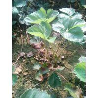 正宗草莓苗品种价格,甜宝草莓苗子,2015年草莓苗价格