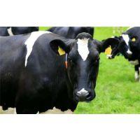 万隆畜牧养殖(图),肉牛养殖技术,肉牛