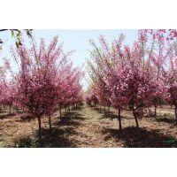 供应地径2-12公分垂丝海棠,红叶李,金桂,红花玉兰,腊梅,红梅价格图片