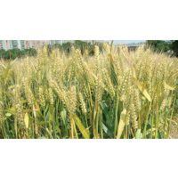 轮选518-小麦种子新品种哪里有卖 什么价格多少钱