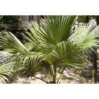 供应香樟 棕榈 石榴树 工程苗 绿化苗