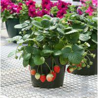 蔬菜种子公司批发 可食用水果草莓苗  家庭园艺盆栽花卉植物种子