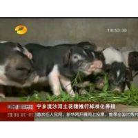 【年味·年猪】中国四大名猪——宁乡花猪年猪认购活动正式开启!