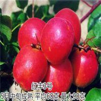 珍珠油杏苗 壹棵树珍珠油杏种植基地