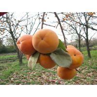 现货销售柿子树苗 绿化用柿子树 日本甜柿子苗