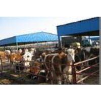 新疆市哪里卖小牛犊的地方√