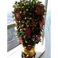 年宵花卉室内盆栽喜庆观果花卉植物金橘子盆景金桔树苗 带果