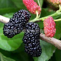 果树苗木 桑椹树苗 第三代水果-46C019果桑苗 果桑树苗 当年结果