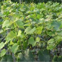 信森农业科技嫁接葡萄苗规格 占地2厘米葡萄苗价格 质优价廉