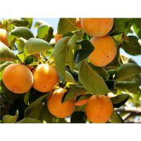 柿子苗基地哪里的好?泰安润佳农业大量供应优质甜柿苗 品种纯 价格优惠