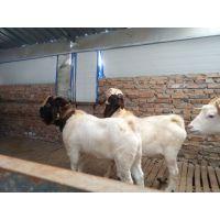 波尔山羊羊羔 波尔山羊怀孕羊价格 山东种羊大型养殖场