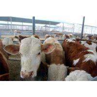 西门塔尔牛牛苗,西门塔尔牛,万隆畜牧养殖