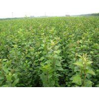 秋姬李子苗种植技术 志森园艺免费提供李子苗种植技术 果树苗种植技术