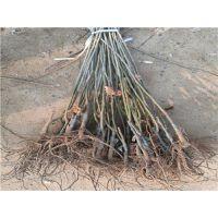 板栗苗基地哪的好?泰安佳丽园艺大量供应优质高产板栗苗 价格优惠