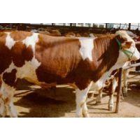 进口谷饲冷冻Hereford牛肉-澳大利亚史密斯牧场