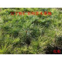 红松小苗、红松基地、辽宁红松、红松种苗、红松大树