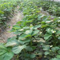 梧州红颜草莓苗|世杰园艺场|红颜草莓苗栽培