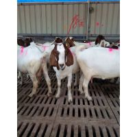 育肥羊多少钱一只,山东养羊场,山东济宁正规养羊场