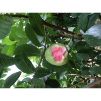 大量供应西瓜芭乐苗 红心番石榴苗 台湾品种 个头大 产量高
