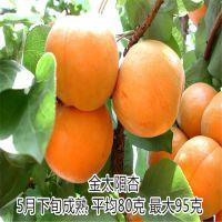 全国热销 珍珠油杏 珍珠油杏早熟苗 壹棵树农业种植园
