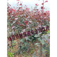 供应紫叶矮樱小苗、紫叶矮樱苗木、紫叶矮樱小苗价格、紫叶矮樱种植基地