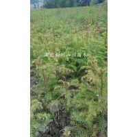 供应柳杉树苗、一至两年苗、株高20-50cm、地径0.2-0.6、