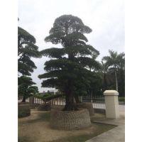 黄冈罗汉松多少钱?、罗汉松苗木场、日本罗汉松多少钱?