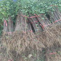 苗圃大量出售花椒苗/什么花椒苗品种好/价格便宜的花椒苗。花椒苗品种齐全